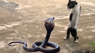 cat vs cobra   cat tiger attack king cobra real fight   tiger attack cobra snake to death