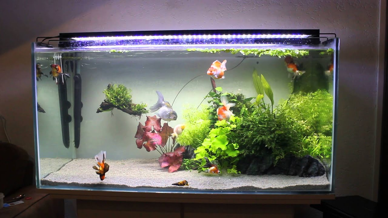 My planted fancy goldfish tank youtube for Fancy fish tanks