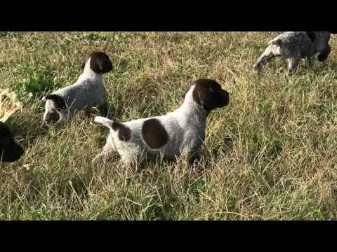 German Shorthaired Pointers Puppies!!