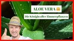 Aloe Vera Zimmerpflanze 🔴 Pflegen, schneiden & anwenden