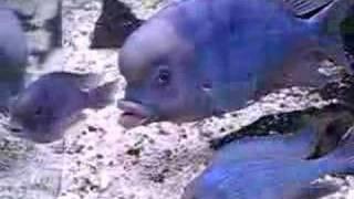 Malawi Blue Dolphin Cichlid No. 2