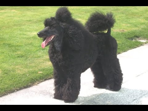 17 Miniature Poodle Tricks in a Row!