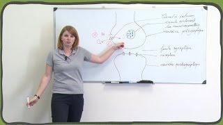 SVT - Le message nerveux - Le neurone - La synapse