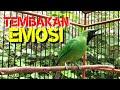 Cucak Ijo Gacor Bongkar Isian Full Nembak Muzarab Buat Pancingan  Mp3 - Mp4 Download