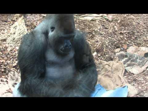 Gorilla gorilla Hominidae