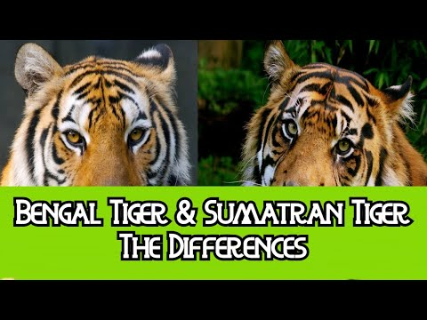 Bengal Tiger & Sumatran Tiger - The Differences