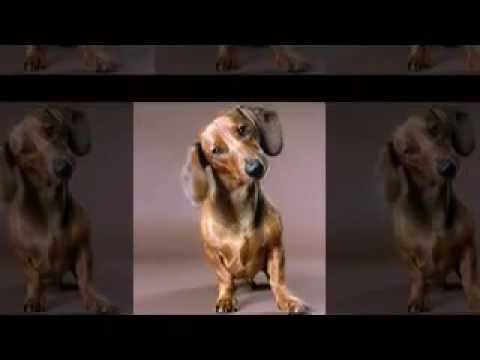 The Dachshund is a hunting breed of dog, characterized by short legs.