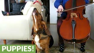 Basset Hound accompanies owner's cello practice