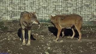 Волки и гималайский мишка)))