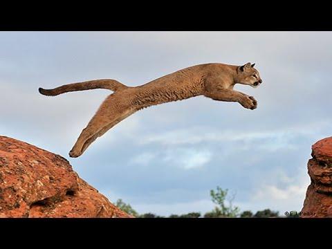 Kükreyemeyen Vahşi Kedi Puma - Dağ Aslanı