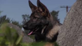 Young Dogs in Action! Kraftwerk K9 German Shepherd Highlights Video