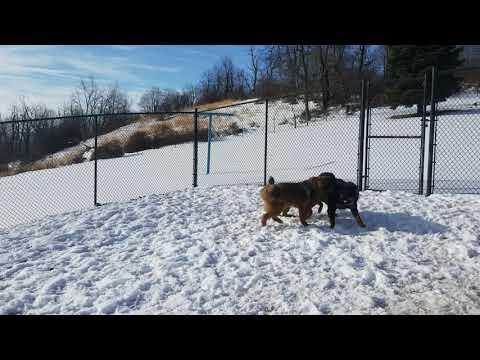 Tibetan Mastiff vs Asian Bear Dog vs Tibetan Mastiff