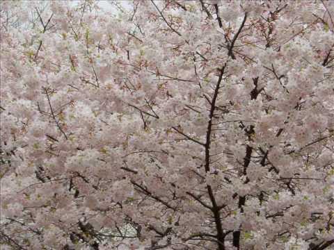 Sakura Sakura - Flute