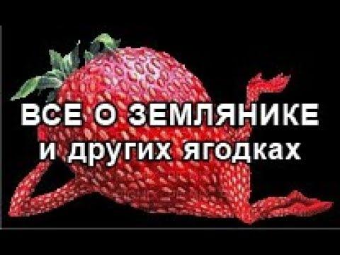 Сорт клубники Сенсация.