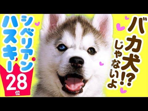 ❤人気28位【シベリアン・ハスキーってどんな犬?】子犬の価格や性格、寿命、飼いやすさは? カワイイ動画でチェック!