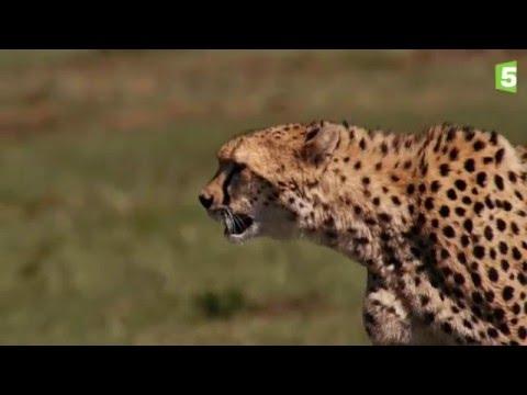 Prédateurs - La traque du guépard