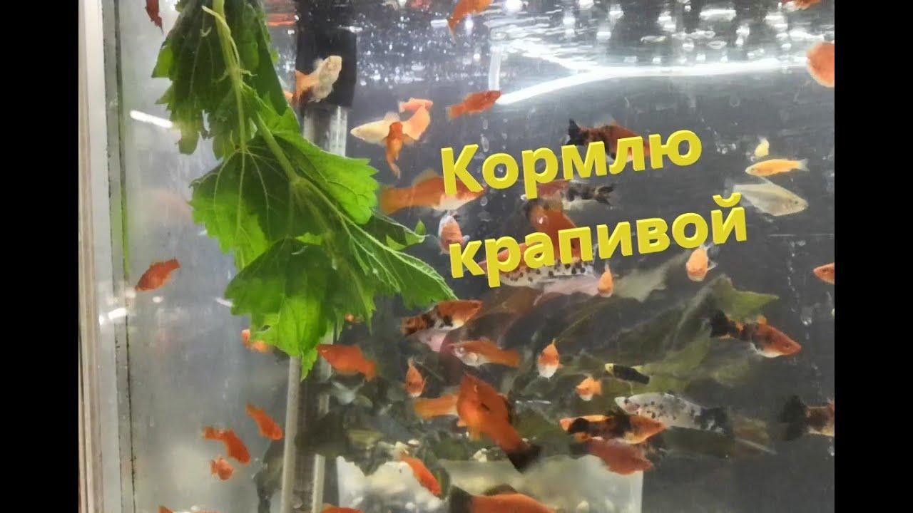 Крапива как корм для аквариумных рыб