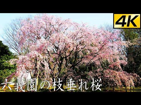 【史上初】六義園の枝垂れ桜  開花までの9日間【4K】9 days process of Sakura (Weeping cherry blossoms) blooming in Rikugien