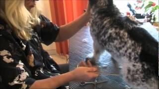 Terriermix Luky ganz entspannt beim Trimmen im Hundesalon