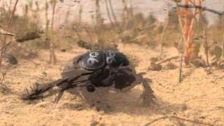 The galloping dung beetle