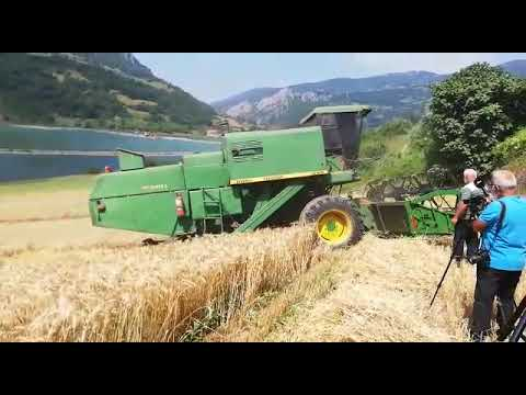 Bafra Ovasında Buğday Hasadı Başladı
