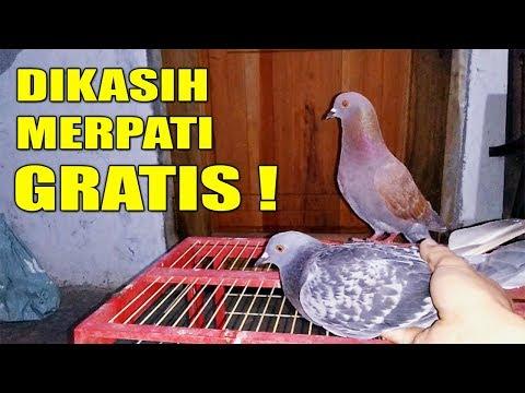 ASIK !! BURUNG MERPATI GRATIS #MERPATIKU