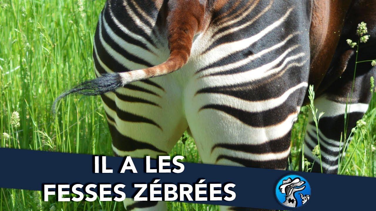 Download SECRETS SAUVAGES #2 - IL A LES FESSES ZÉBRÉES || L'OKAPI || - Goana