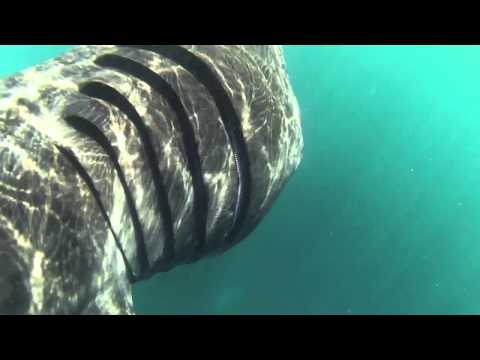 Swimming and snorkelling with basking sharks Cornwall UK