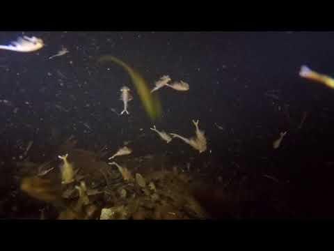 Fairy shrimp in the dark