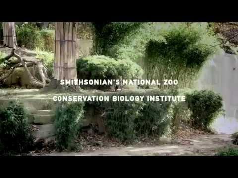 "Portugal. The Man - ""Sumatran Tiger"" - The Endangered Song"