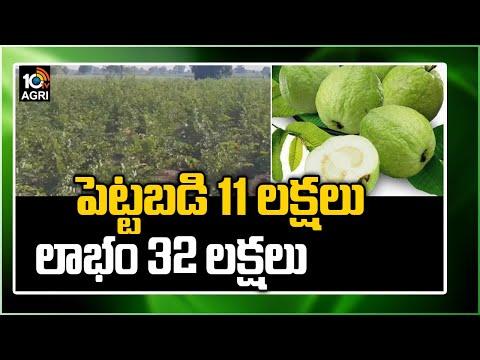 పెట్టబడి 11 లక్షలు, లాభం 32 లక్షలు   Engineer Turns Farmer: Success Story of Taiwan Guava Farming