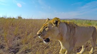 Would the lions ATTACK anyone? #AskMeg | The Lion Whisperer