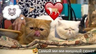 Международная выставка кошек   | Самое милое видео за всю историю 31-го кадра