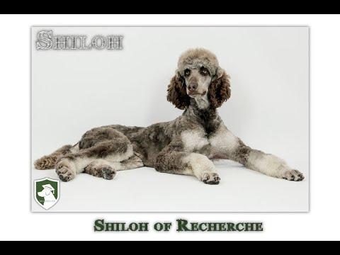 Shiloh Standard Phantom Stud Poodle From Recherche Bernes