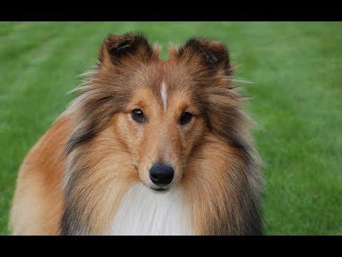 Смешные колли   Подборка видео приколов про собак и щенков колли