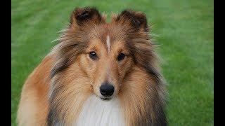Смешные колли | Подборка видео приколов про собак и щенков колли