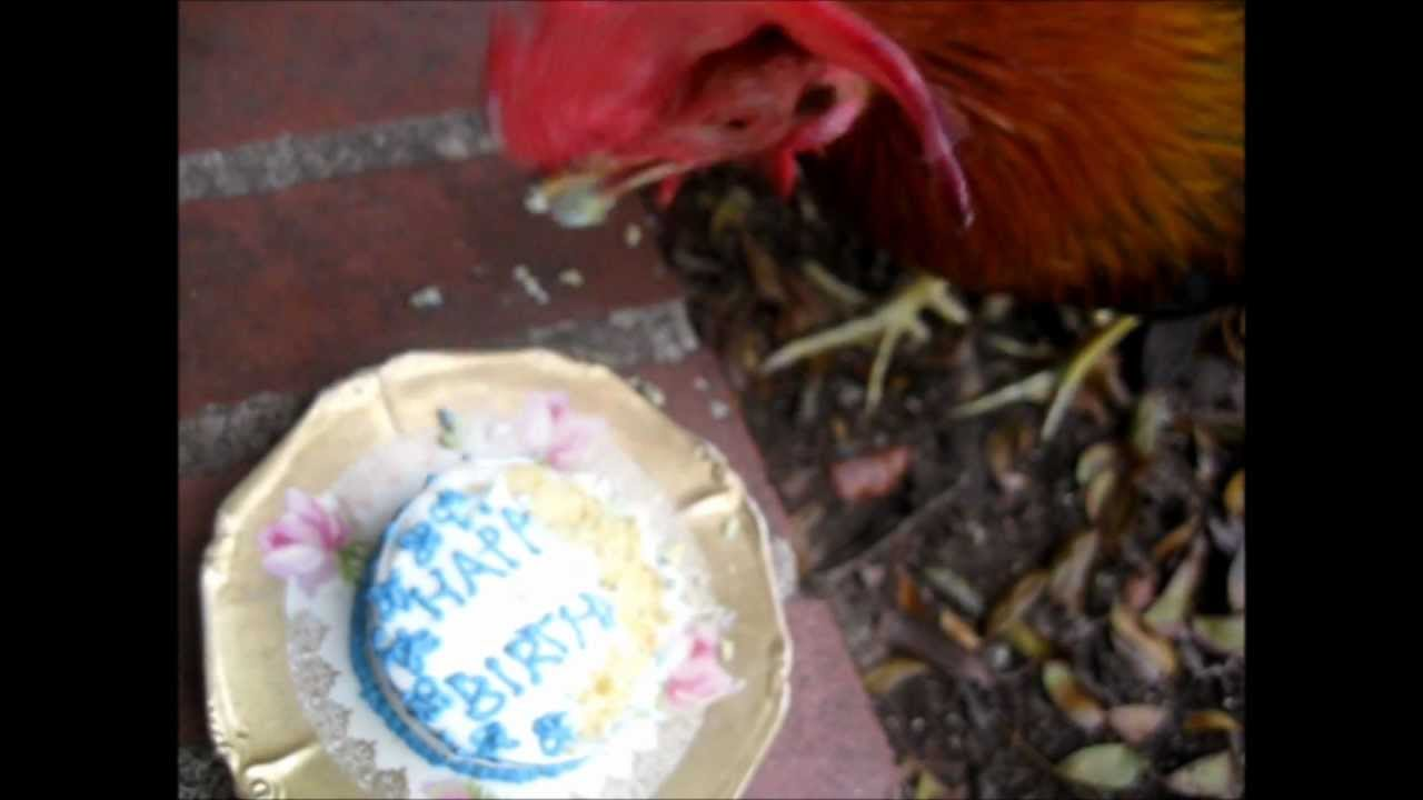 Chicken Eating His Birthday Cake Youtube