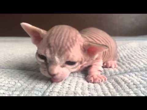 2 week old rare hairless bambino sphynx kitten