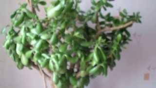 Толстянка деревовидная (красула)-особенности ухода.опыт(, 2015-04-27T11:55:27.000Z)