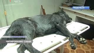 Бродячих собак начали чипировать в Подольске.