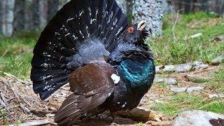#1153. Глухари, тетерева и фазаны (В мире животных)