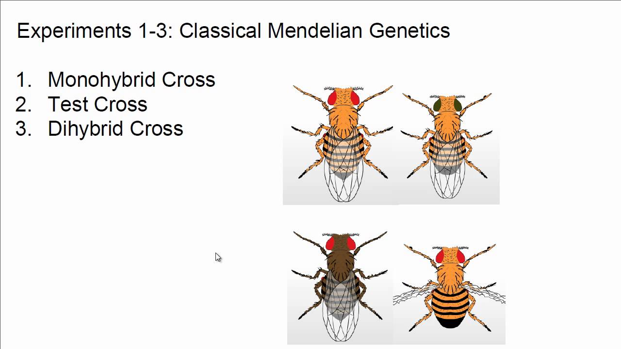 drosophila fly lab report fruit fly genetics drosophila as a model  neo mendelian genetics and the virtual fly lab neo mendelian genetics and the virtual fly lab