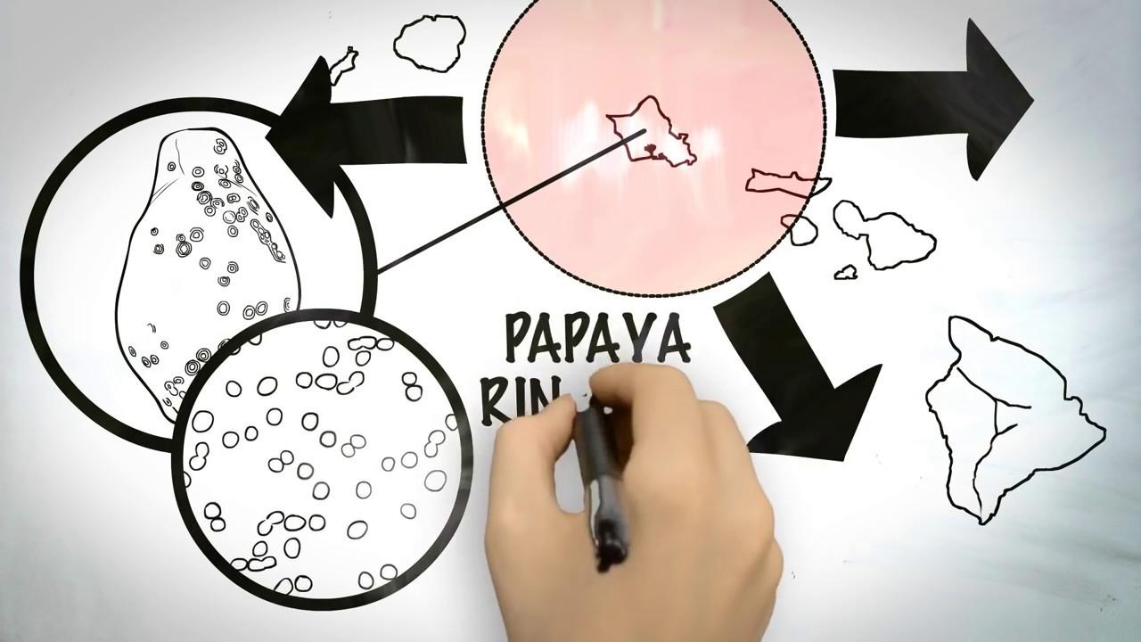how are gmos created the hawaiian rainbow papaya story gmo answers [ 1280 x 720 Pixel ]