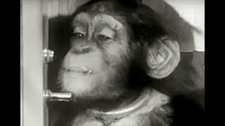 Smart Chimp Proved Humans Could Survive Space Travel