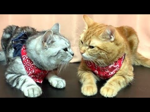 Fantastic American Shorthair Cats Love