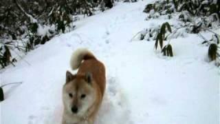 お山の上は吹雪いていました。 かい(北海道犬)は猛ダッシュ~=3で戻っ...