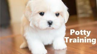 How To Potty Train A Shichon Puppy - Shichon House Training Tips - Housebreaking Shichon Puppies