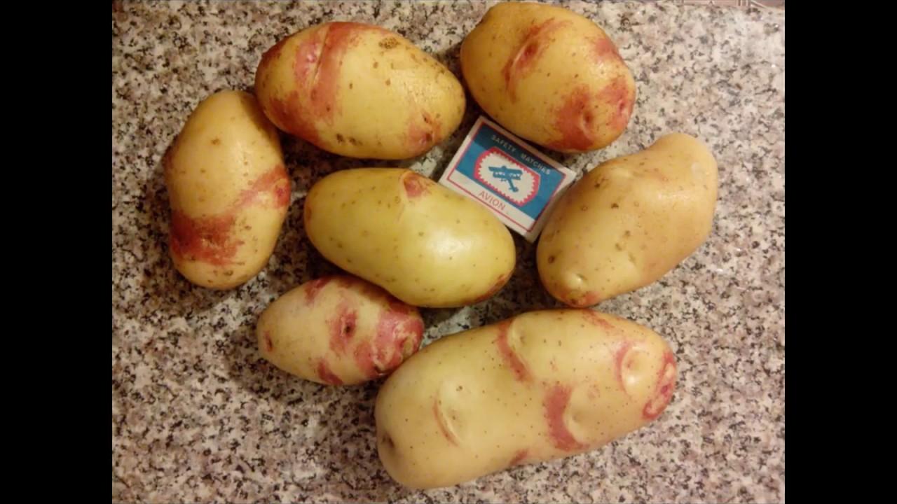 картофель дева описание сорта фото