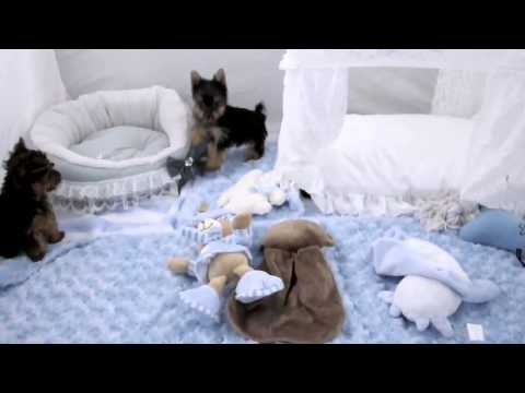 Teacup Yorkshire Terrier  Teacup Puppies For Sale 2014 2016 WE SHIP