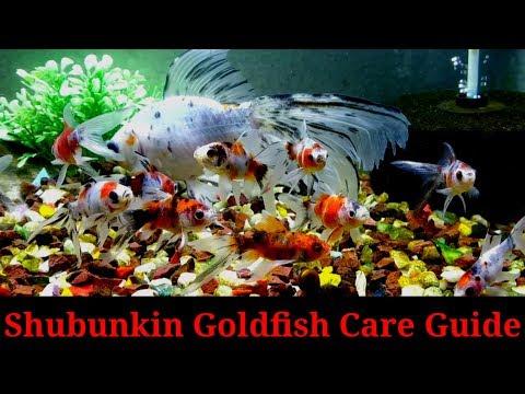Shubunkin Goldfish Care Guide